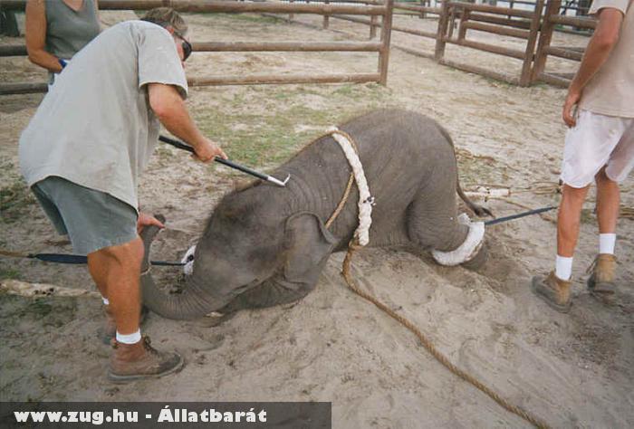 Brutális elefánt idomítás egy cirkuszban