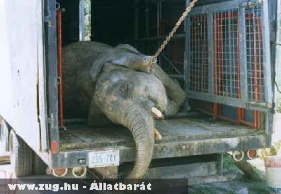 Elefánt szállítás döbbenetes körülmények között