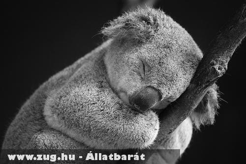 A Koala kedvenc idõtöltése