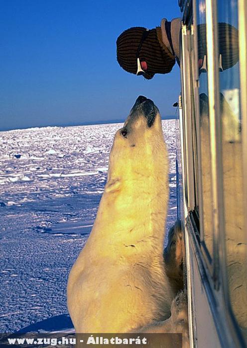 Közel jött ez a jegesmedve