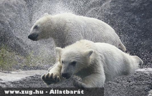 Úszó jegesmedvék