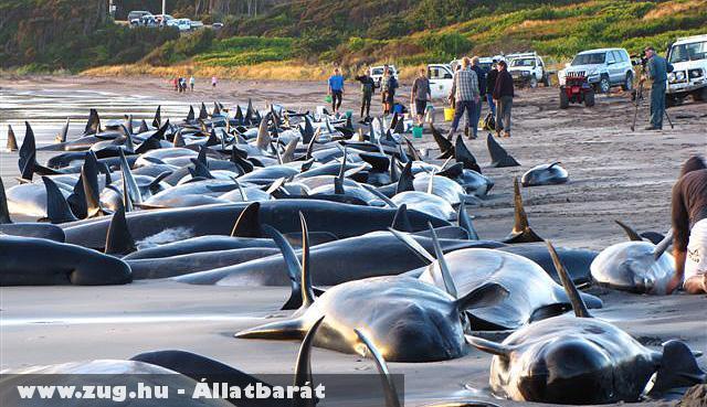 Megmentésre váró bálnák