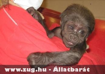1 hónapos kis gorilla