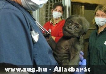 Kis gorilla orvosi vizsgálat elõtt