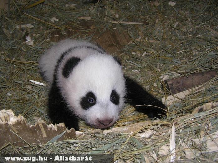 Hu Fu, a bécsi pandakölyök
