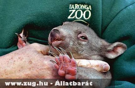 Wombat kölyök a gondozóval