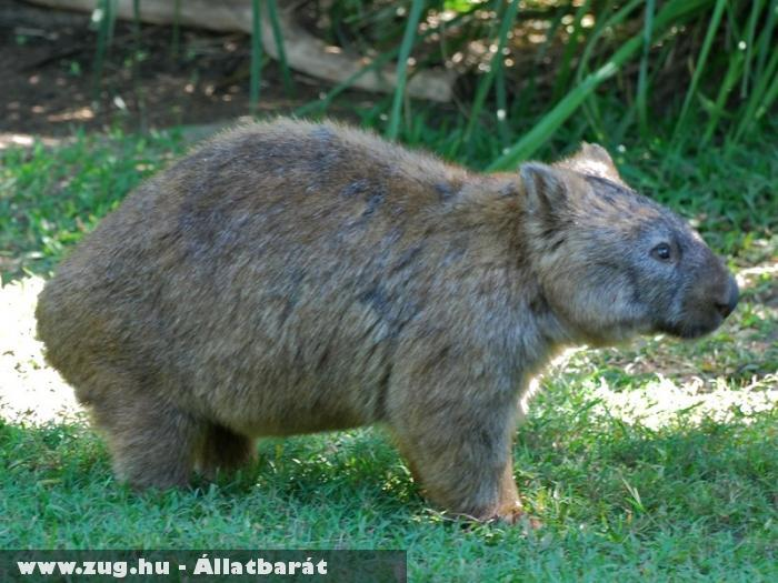 Egy felnõtt Wombat