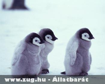 Pingvin kölykök