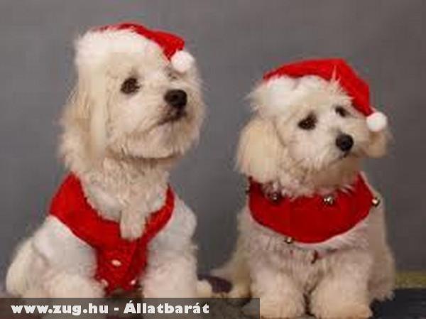 Karácsonyi díszben a kutyák