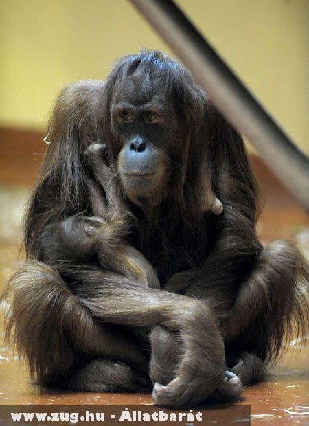 Orángutánbébi született az Állatkertben