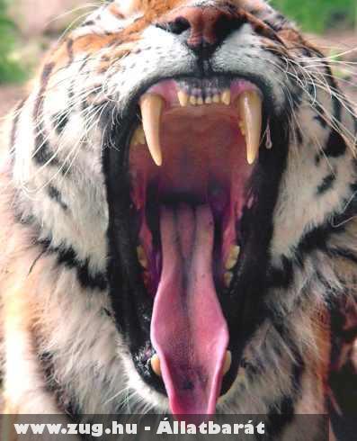 Tigris féle ásítás