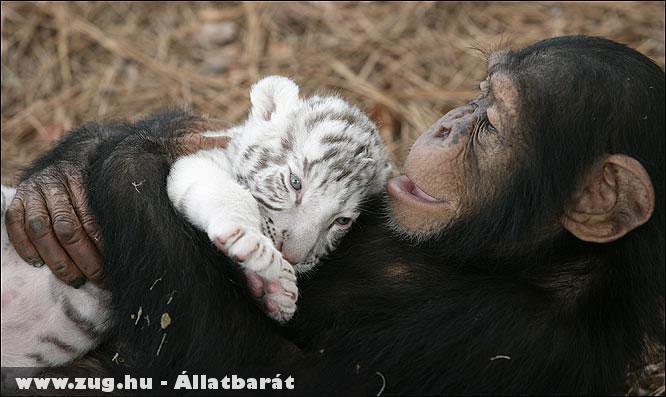 Kis tigris és a csimpánz