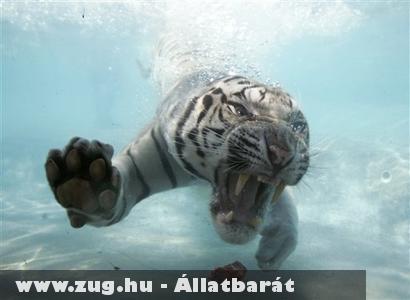 Tigris a víz alatt