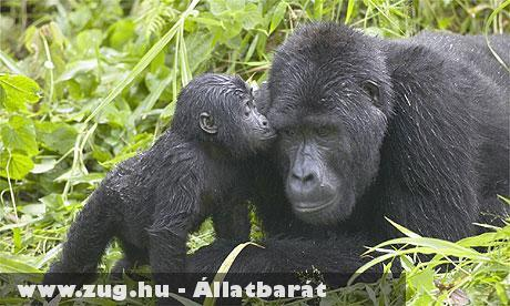Gorilla, és kölyke Kongóban