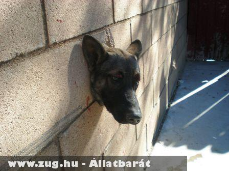 Durva: Falba szorult a kutya feje