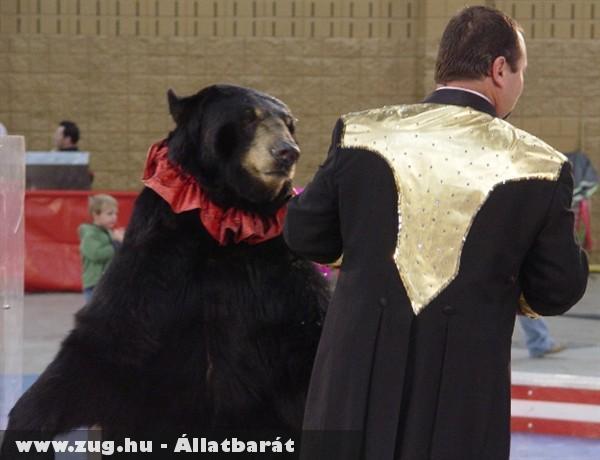 Állatkínzás egy cirkuszi medve mutatványa?