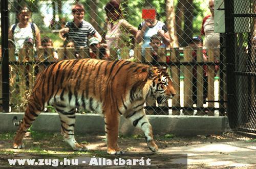 Tigris a Szegedi Vadasparkban