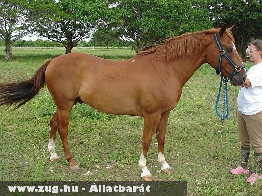 Angol ló