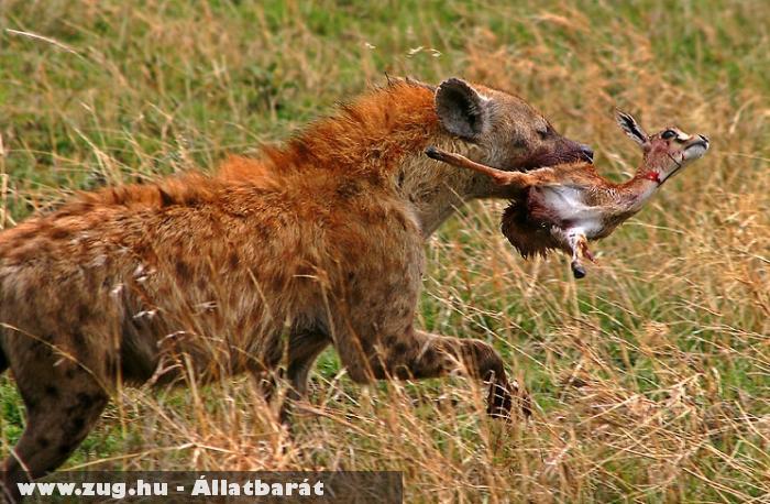 Hiéna vadászat közben