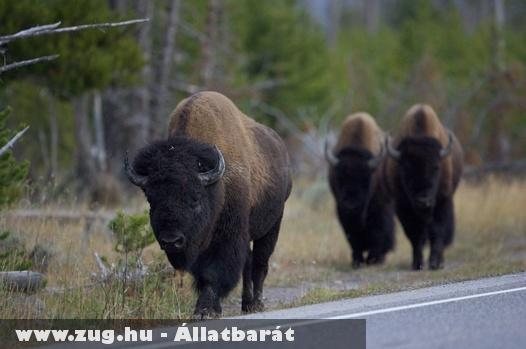A Yellowstone Nemzeti Park bölényei