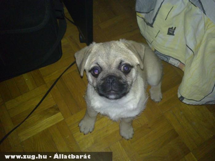 Daisy kutyu (kis röfögõ, horkoló...) :)