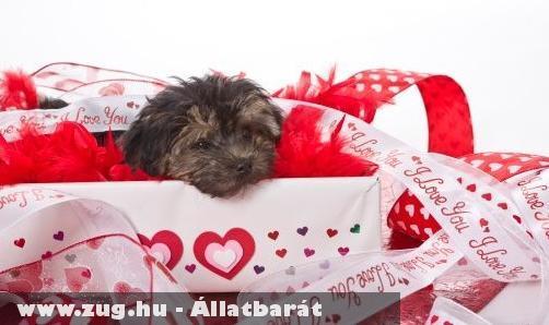 Az élõ kiskutya nem Valentin napi ajándék