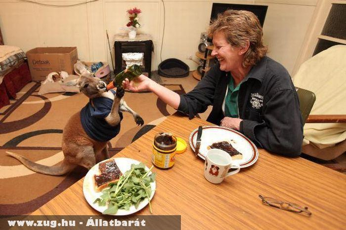 Sörözõ házikedvenc kenguru