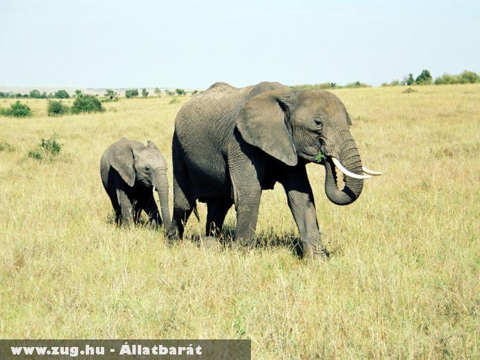 Kenyai elefántok