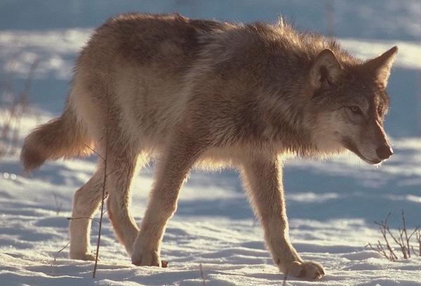 Ki szereti még a farkasokat? :)