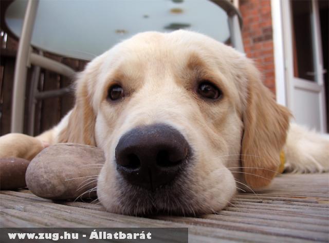 Goldi kutya a kedvenc köveivel