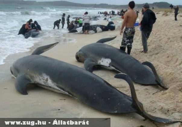 Több mint száz gömbölyûfejû delfin pusztult el Új-Zélandon