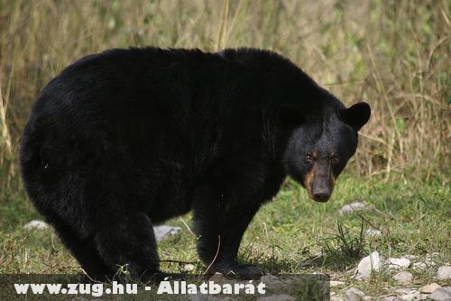 Az amerikai fekete medve