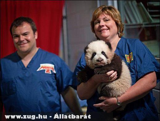 Kung-fu bajnokká avatják az egyetlen óriáspandát, amely Észak-Amerikában született