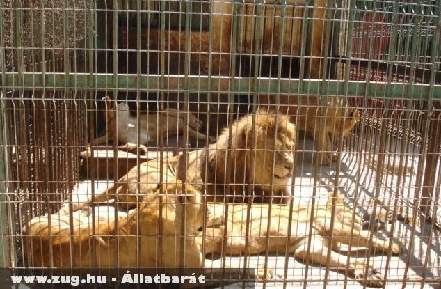A nagyváradi állatkert oroszlánjai