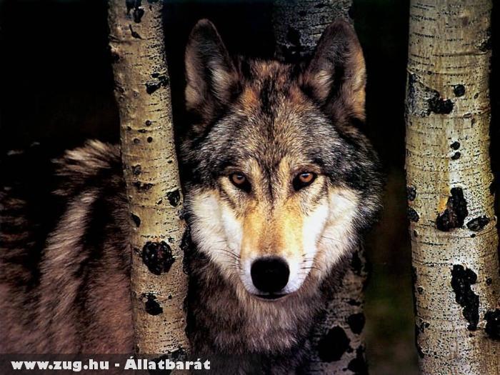 Figyelnek a farkasok