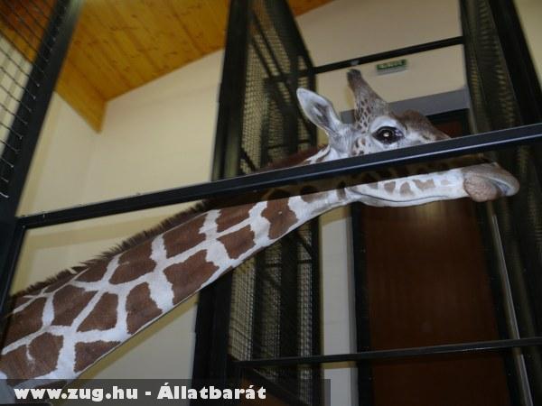 Nuru a szegedi zsiráf