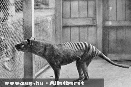 Tasmán tigris: az utolsó ismert példány 1936-ban pusztult el