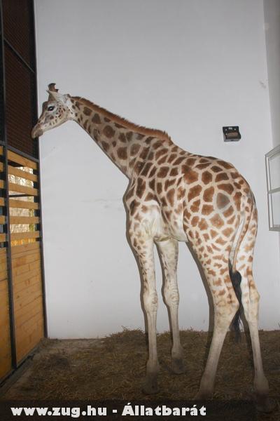 Luke, a harmadik szegedi zsiráf