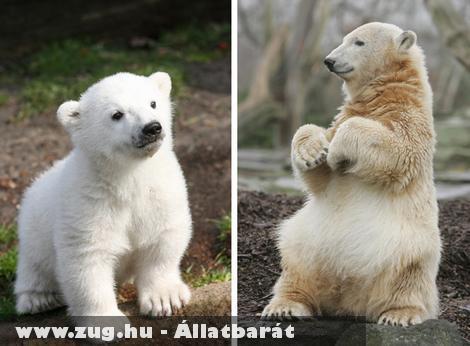 Elpusztult a világ leghíresebb jegesmedvéje