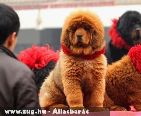 A világ legdrágább kutyája: Mastiff, amely 1,5 millió dollárt ér