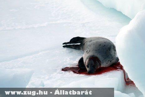 Grönland a fóka gyilkolások helyszíne lett