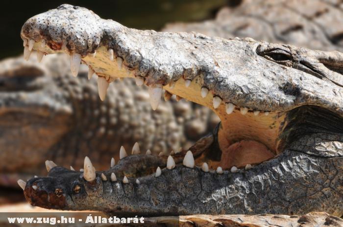 Az Odesszai Ócenárium krokodilja