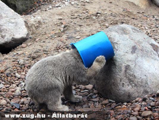 Játékos medvebocs az egyik dán állatkertben