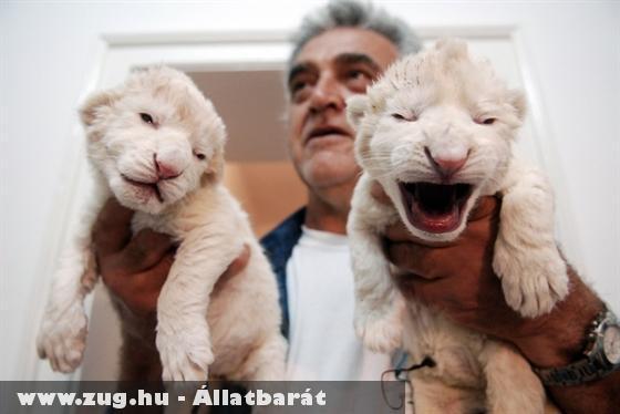 Fehér oroszlánkölykök