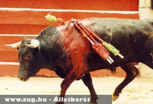 Véres és brutális szórakozás a bikaviadal