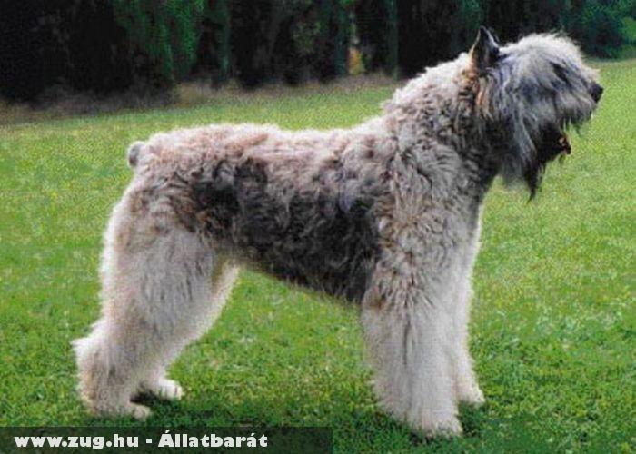 Flandriai pásztorkutya