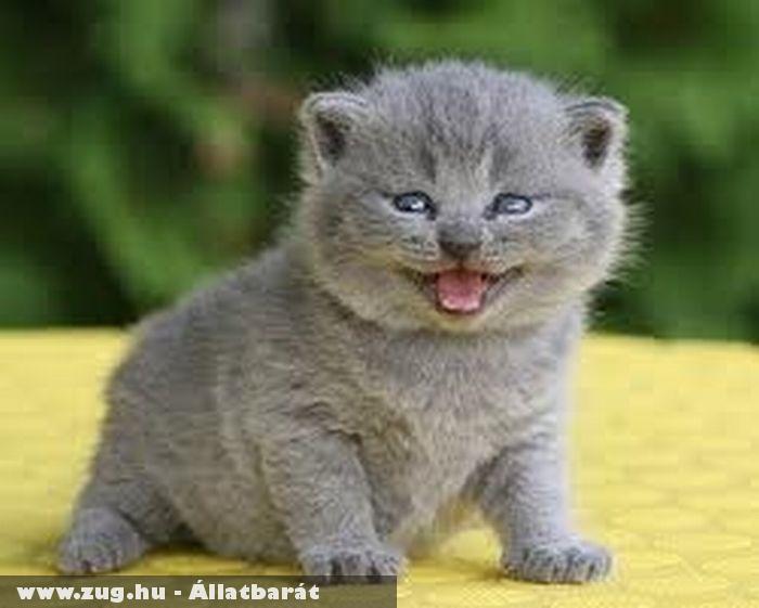 Britt rövid szõrû kis cica