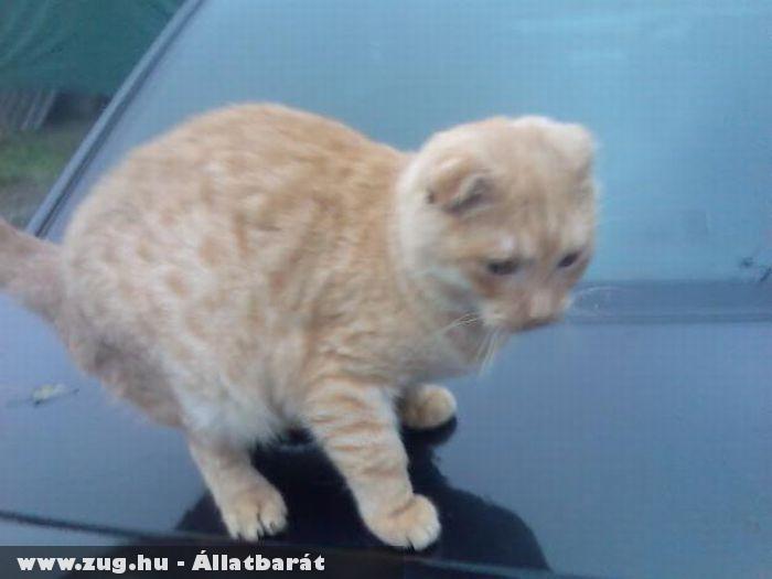 Skót lógófülû cica