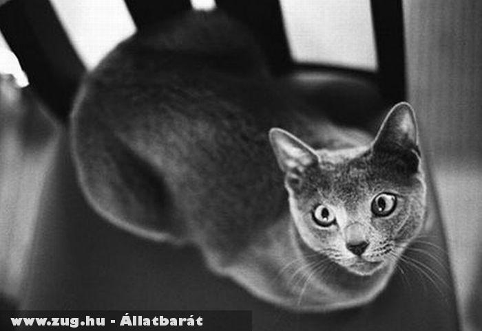 Orosz kék cica