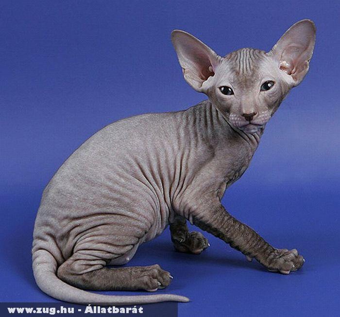 Peterbald macska